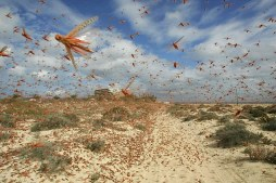 A swarm of locusts flies over a beach in Spain's Canary Islands